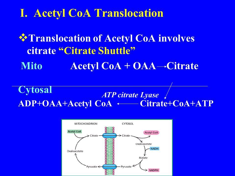 "I. Acetyl CoA Translocation  Translocation of Acetyl CoA involves citrate ""Citrate Shuttle"" Mito Acetyl CoA + OAA Citrate Cytosal ADP+OAA+Acetyl CoA"