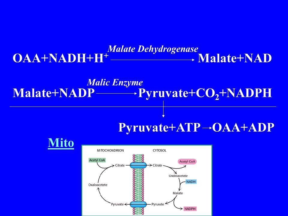 OAA+NADH+H + Malate+NAD Malate+NADP Pyruvate+CO 2 +NADPH Pyruvate+ATP OAA+ADP Mito Malate Dehydrogenase Malic Enzyme