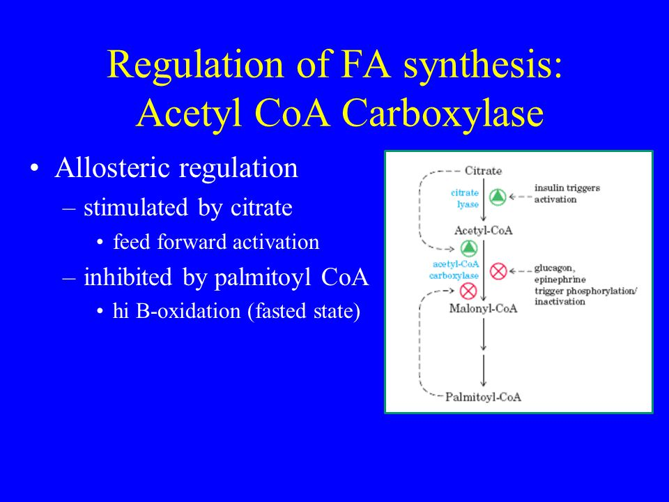 Regulation of FA synthesis: Acetyl CoA Carboxylase Allosteric regulation –stimulated by citrate feed forward activation –inhibited by palmitoyl CoA hi B-oxidation (fasted state)