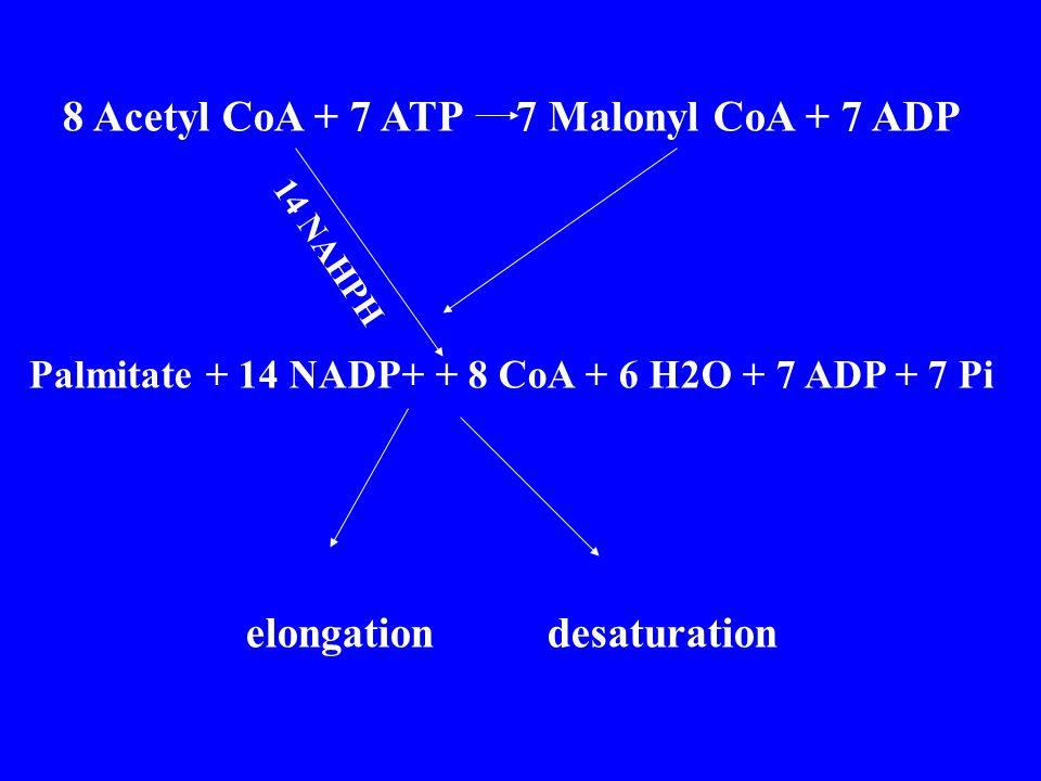 8 Acetyl CoA + 7 ATP 7 Malonyl CoA + 7 ADP Palmitate + 14 NADP+ + 8 CoA + 6 H2O + 7 ADP + 7 Pi elongation desaturation 14 NAHPH