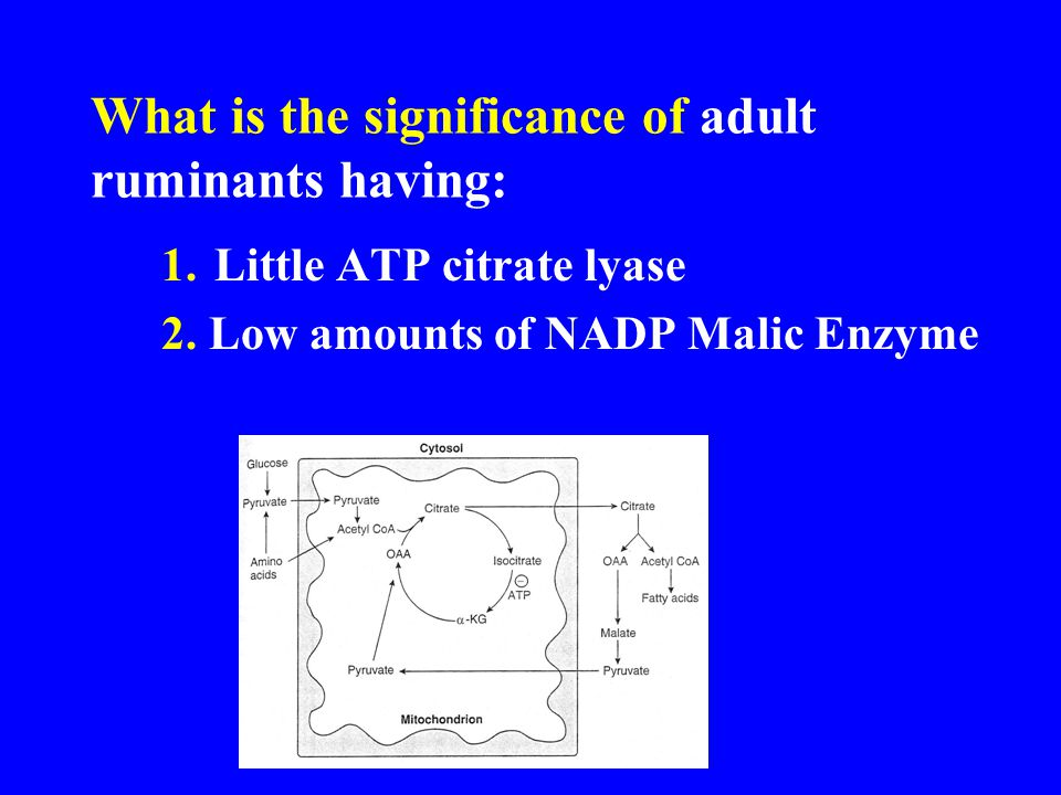 What is the significance of adult ruminants having: 1.Little ATP citrate lyase 2.