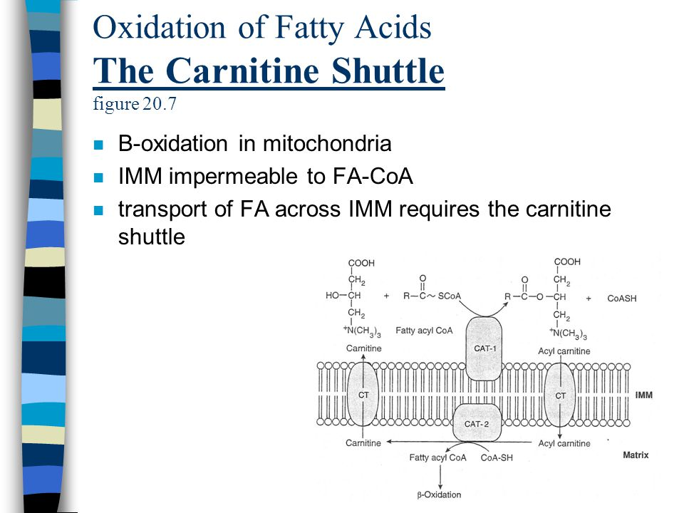 Oxidation of Fatty Acids The Carnitine Shuttle figure 20.7 n B-oxidation in mitochondria n IMM impermeable to FA-CoA n transport of FA across IMM requires the carnitine shuttle
