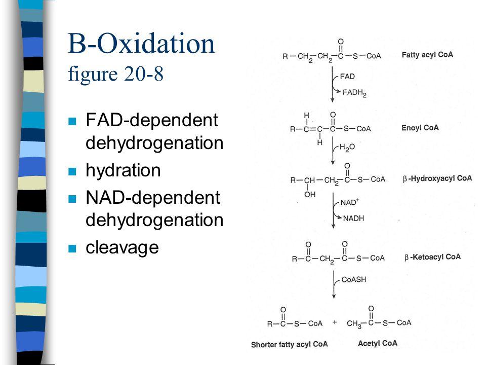 B-Oxidation figure 20-8 n FAD-dependent dehydrogenation n hydration n NAD-dependent dehydrogenation n cleavage