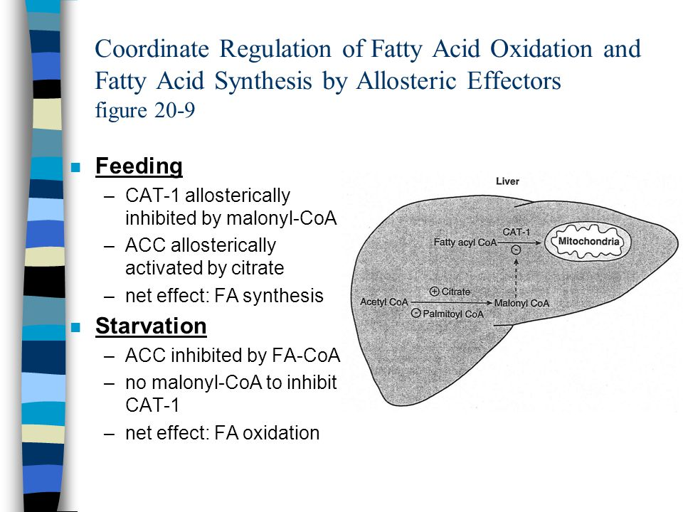 Coordinate Regulation of Fatty Acid Oxidation and Fatty Acid Synthesis by Allosteric Effectors figure 20-9 n Feeding –CAT-1 allosterically inhibited by malonyl-CoA –ACC allosterically activated by citrate –net effect: FA synthesis n Starvation –ACC inhibited by FA-CoA –no malonyl-CoA to inhibit CAT-1 –net effect: FA oxidation