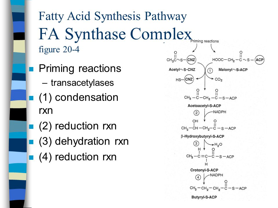 Fatty Acid Synthesis Pathway FA Synthase Complex figure 20-4 n Priming reactions –transacetylases n (1) condensation rxn n (2) reduction rxn n (3) dehydration rxn n (4) reduction rxn