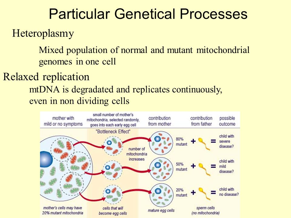 Particular Genetical Processes Heteroplasmy Relaxed replication Mixed population of normal and mutant mitochondrial genomes in one cell mtDNA is degra