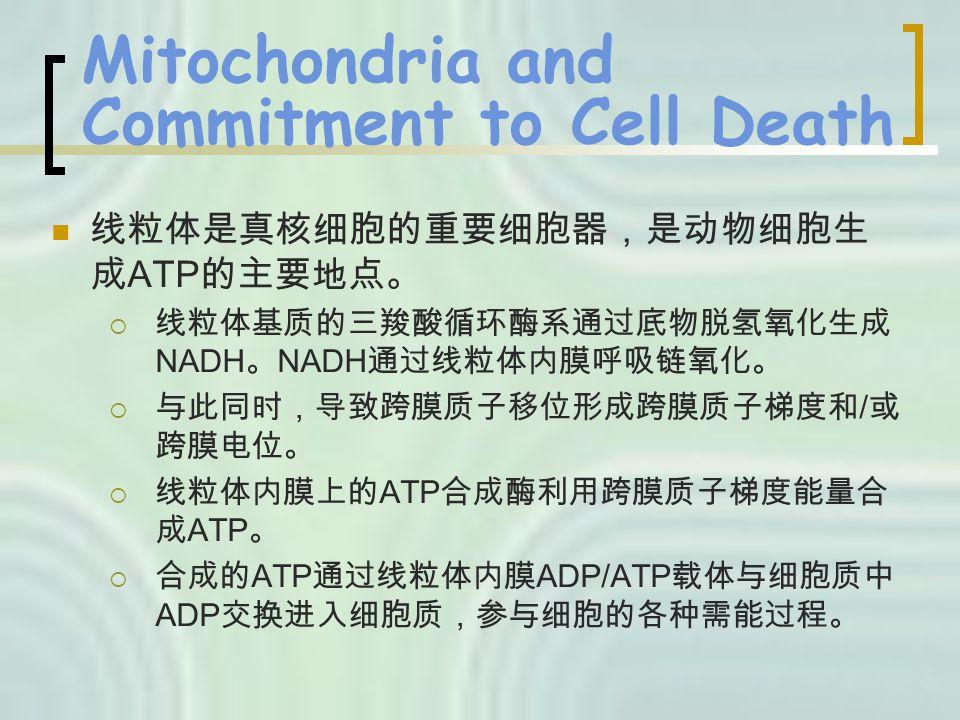 Mitochondria and Commitment to Cell Death 线粒体是真核细胞的重要细胞器,是动物细胞生 成 ATP 的主要地点。  线粒体基质的三羧酸循环酶系通过底物脱氢氧化生成 NADH 。 NADH 通过线粒体内膜呼吸链氧化。  与此同时,导致跨膜质子移位形成跨膜质子梯度和 / 或 跨膜电位。  线粒体内膜上的 ATP 合成酶利用跨膜质子梯度能量合 成 ATP 。  合成的 ATP 通过线粒体内膜 ADP/ATP 载体与细胞质中 ADP 交换进入细胞质,参与细胞的各种需能过程。