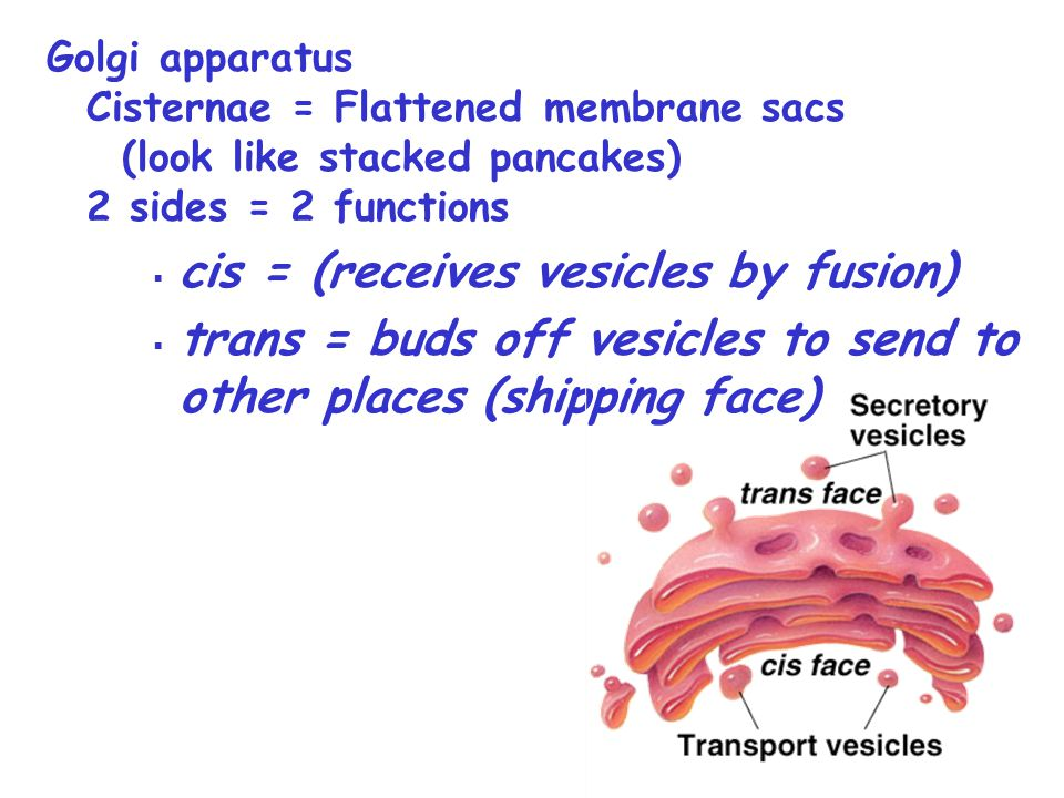 Golgi apparatus Cisternae = Flattened membrane sacs (look like stacked pancakes) 2 sides = 2 functions  cis = (receives vesicles by fusion)  trans =