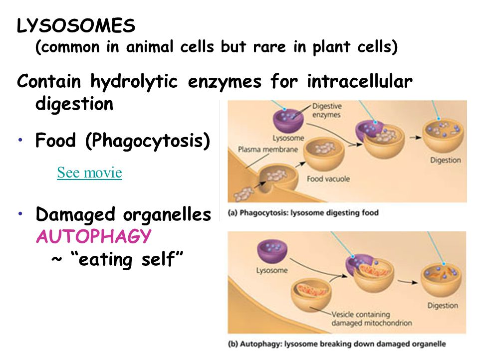 LYSOSOMES (common in animal cells but rare in plant cells) Contain hydrolytic enzymes for intracellular digestion Food (Phagocytosis) Damaged organell