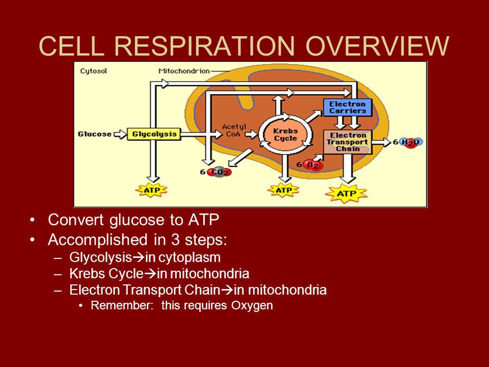 CELL RESPIRATION OVERVIEW Convert glucose to ATP Accomplished in 3 steps: –Glycolysis  in cytoplasm –Krebs Cycle  in mitochondria –Electron Transpor
