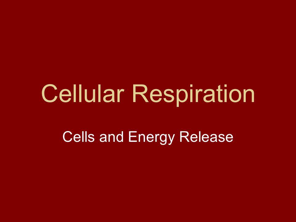 MORE FUN WITH TIM & MOBY http://www.brainpop.com/science/cellularlif eandgenetics/cellularrespiration/preview.w emlhttp://www.brainpop.com/science/cellularlif eandgenetics/cellularrespiration/preview.w eml
