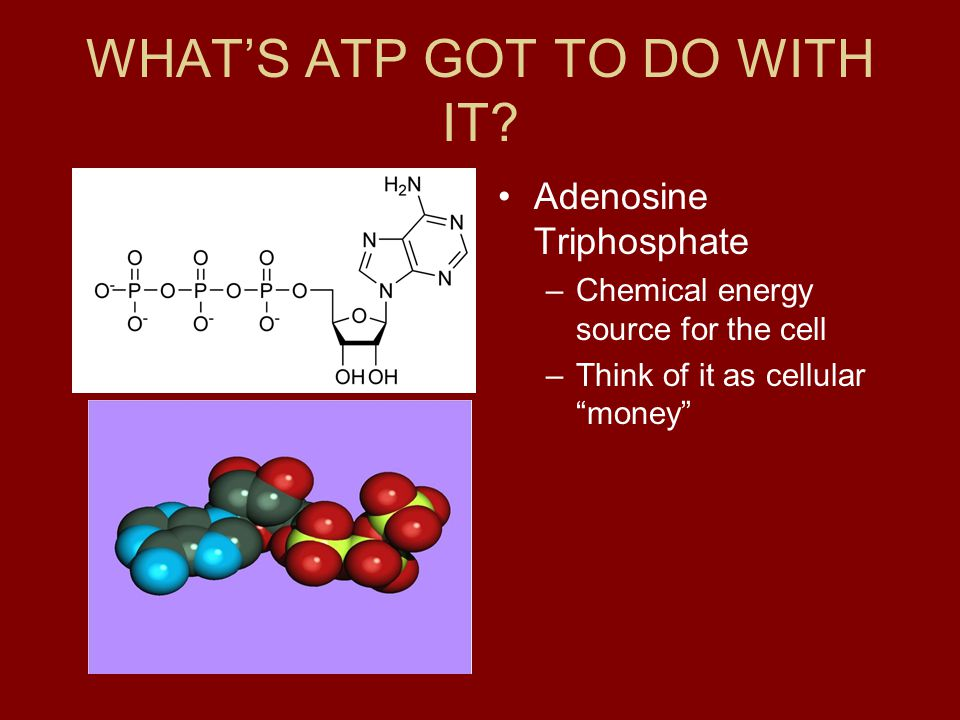 """WHAT'S ATP GOT TO DO WITH IT? Adenosine Triphosphate –Chemical energy source for the cell –Think of it as cellular """"money"""""""