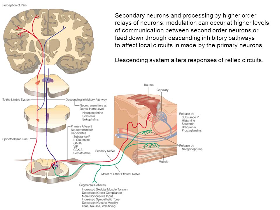 Secondary neurons and processing by higher order relays of neurons: modulation can occur at higher levels of communication between second order neurons or feed down through descending inhibitory pathways to affect local circuits in made by the primary neurons.