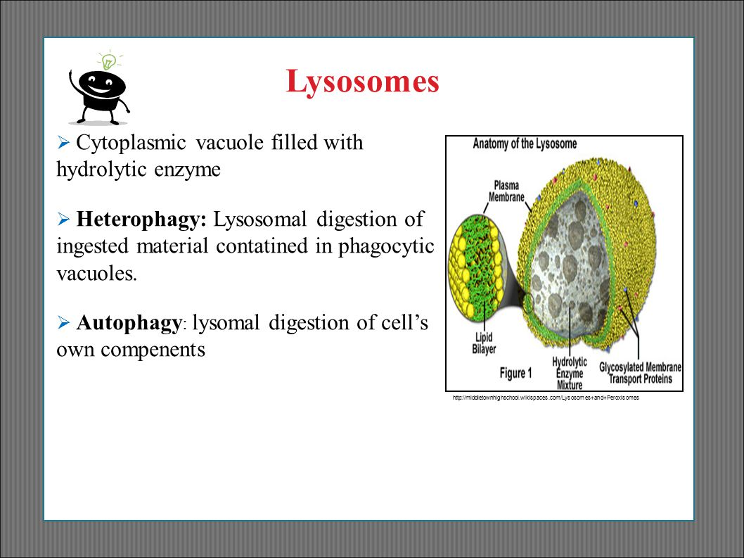 http://middletownhighschool.wikispaces.com/Lysosomes+and+Peroxi somes Lysosomes  Cytoplasmic vacuole filled with hydrolytic enzyme  Heterophagy: Lys