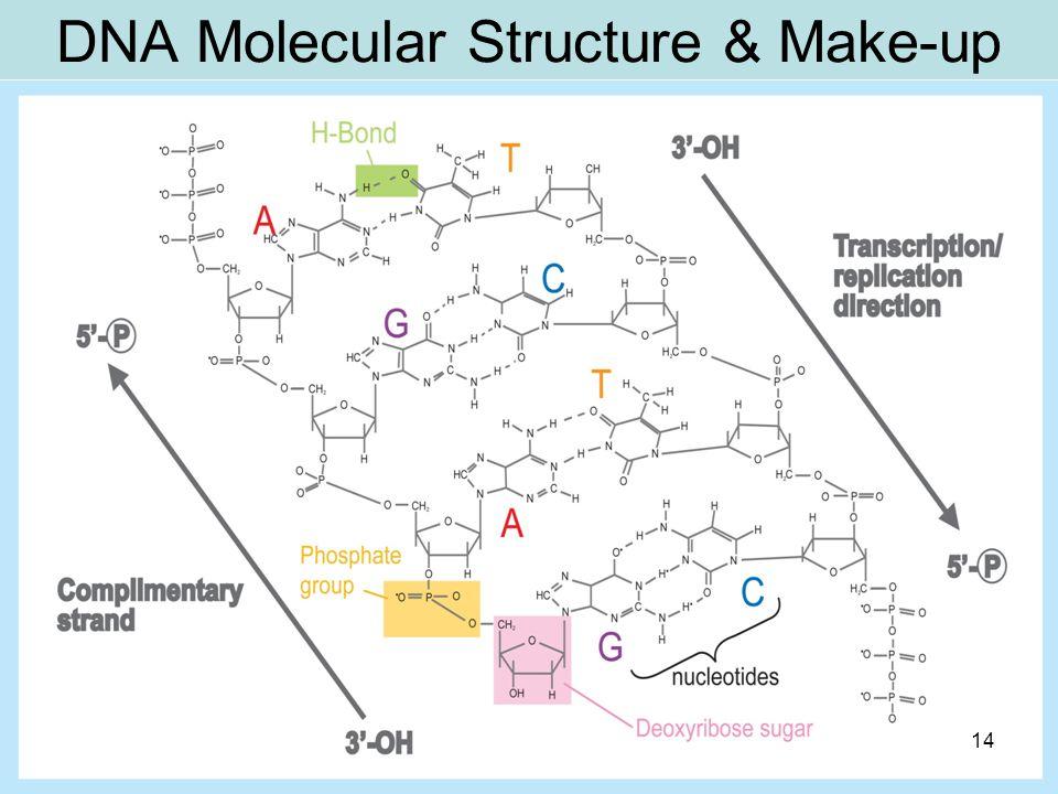 DNA Molecular Structure & Make-up C 14