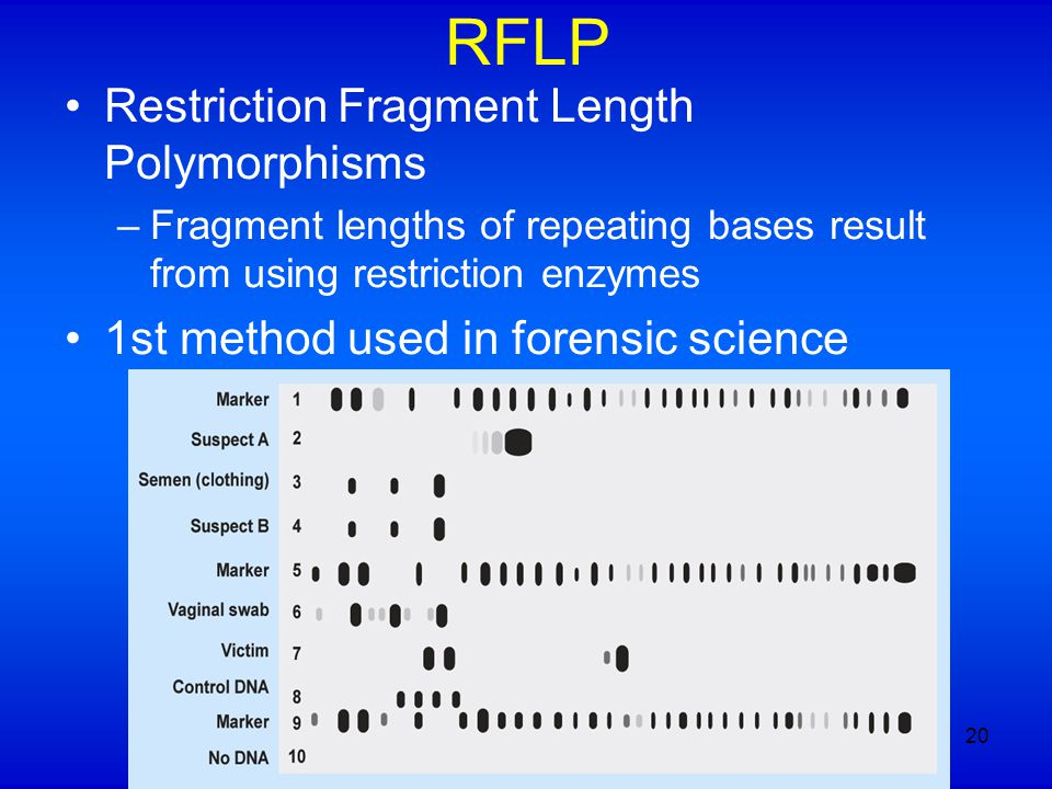RFLP Restriction Fragment Length Polymorphisms –Fragment lengths of repeating bases result from using restriction enzymes 1st method used in forensic
