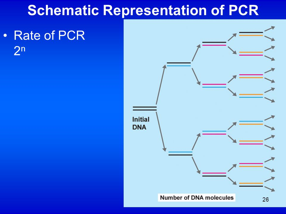 Schematic Representation of PCR Rate of PCR 2 n 26