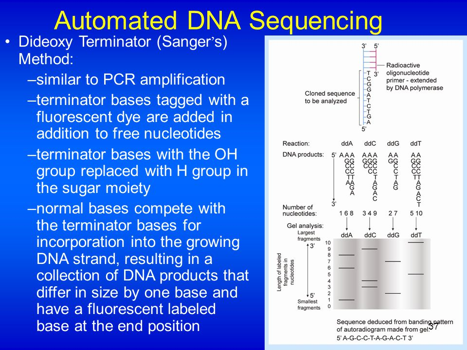 Automated DNA Sequencing Dideoxy Terminator (Sanger ' s) Method: –similar to PCR amplification –terminator bases tagged with a fluorescent dye are added in addition to free nucleotides –terminator bases with the OH group replaced with H group in the sugar moiety –normal bases compete with the terminator bases for incorporation into the growing DNA strand, resulting in a collection of DNA products that differ in size by one base and have a fluorescent labeled base at the end position 37