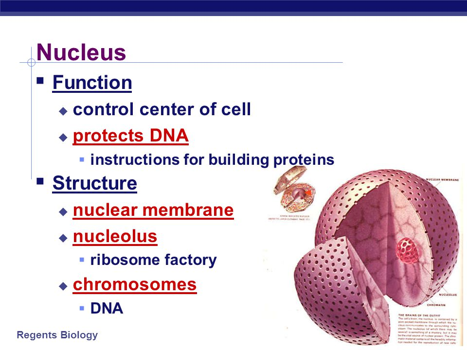 Regents Biology Proteins do all the work! cellsDNAproteins one of the major job of cells is to make proteins, because… one of the major job of cells i