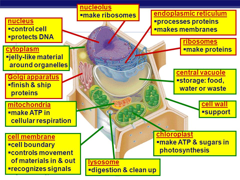 Regents Biology DNA RNA ribosomes endoplasmic reticulum vesicle Golgi apparatus vesicle protein on its way! protein finished protein Making Proteins T