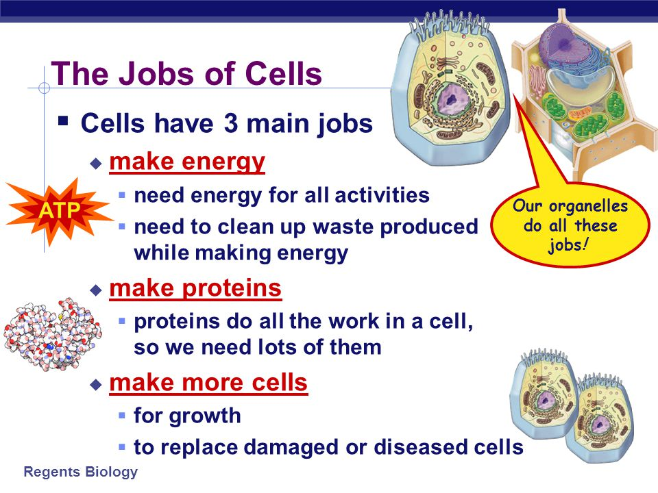 """Regents Biology  What jobs do cells have to do for an organism to live…  """"breathe""""  gas exchange: O 2 in vs. CO 2 out  eat  take in & digest food"""