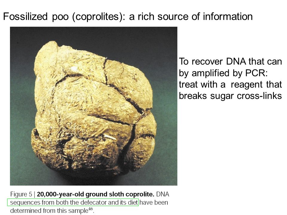 Fossilized poo (coprolites): a rich source of information To recover DNA that can by amplified by PCR: treat with a reagent that breaks sugar cross-li