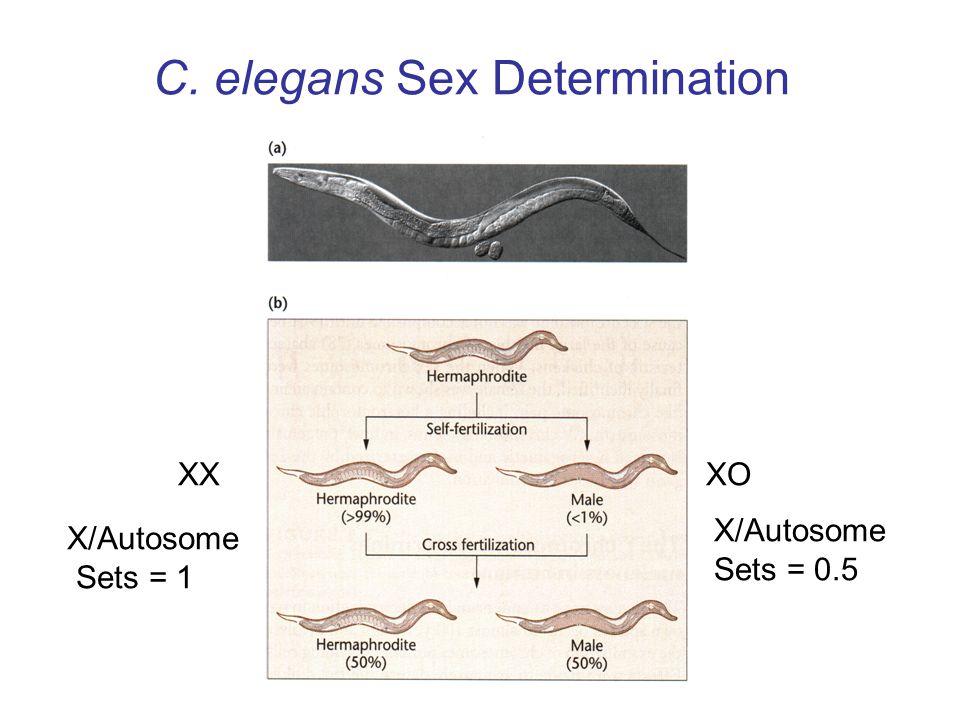 C. elegans Sex Determination XOXX X/Autosome Sets = 1 X/Autosome Sets = 0.5