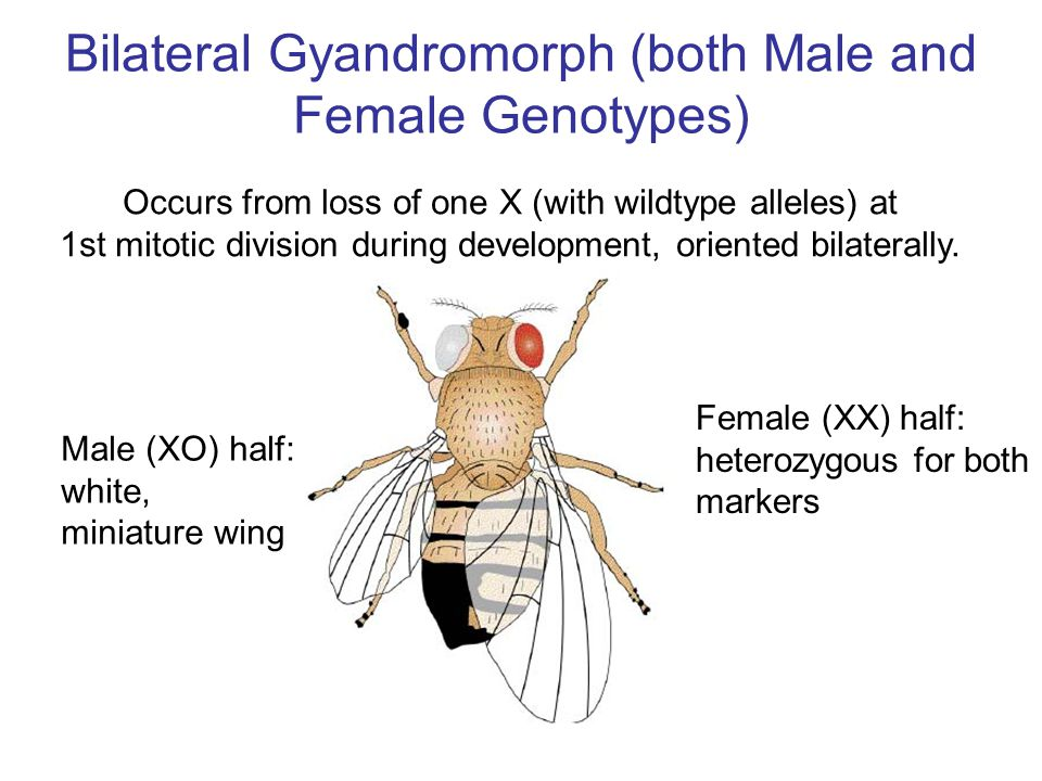 Bilateral Gyandromorph (both Male and Female Genotypes) Male (XO) half: white, miniature wing Female (XX) half: heterozygous for both markers Occurs f