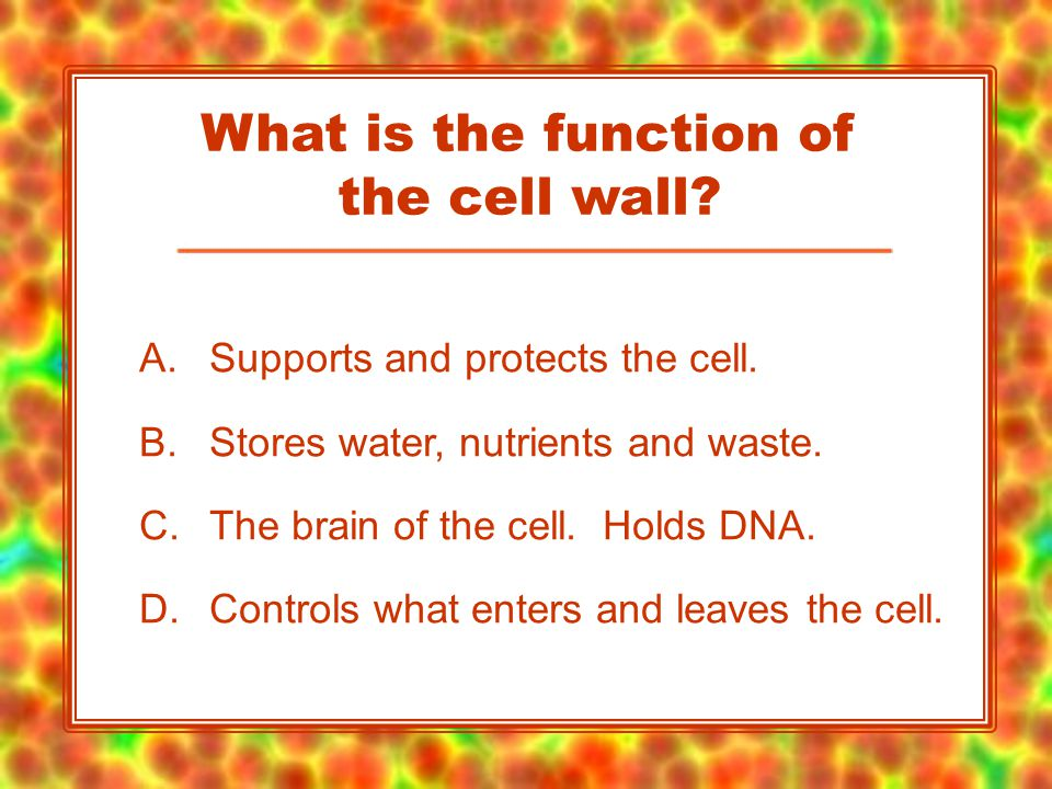A.Supports and protects the cell. B.Stores water, nutrients and waste.