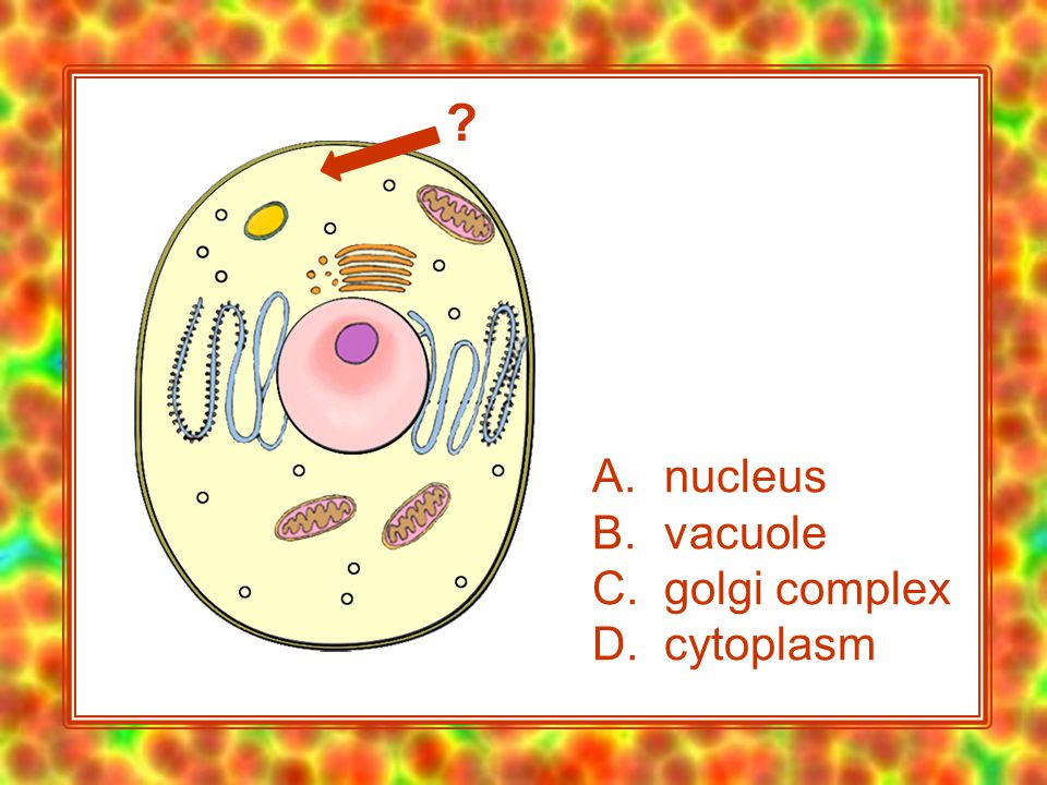 A. nucleus B. vacuole C. golgi complex D. cytoplasm
