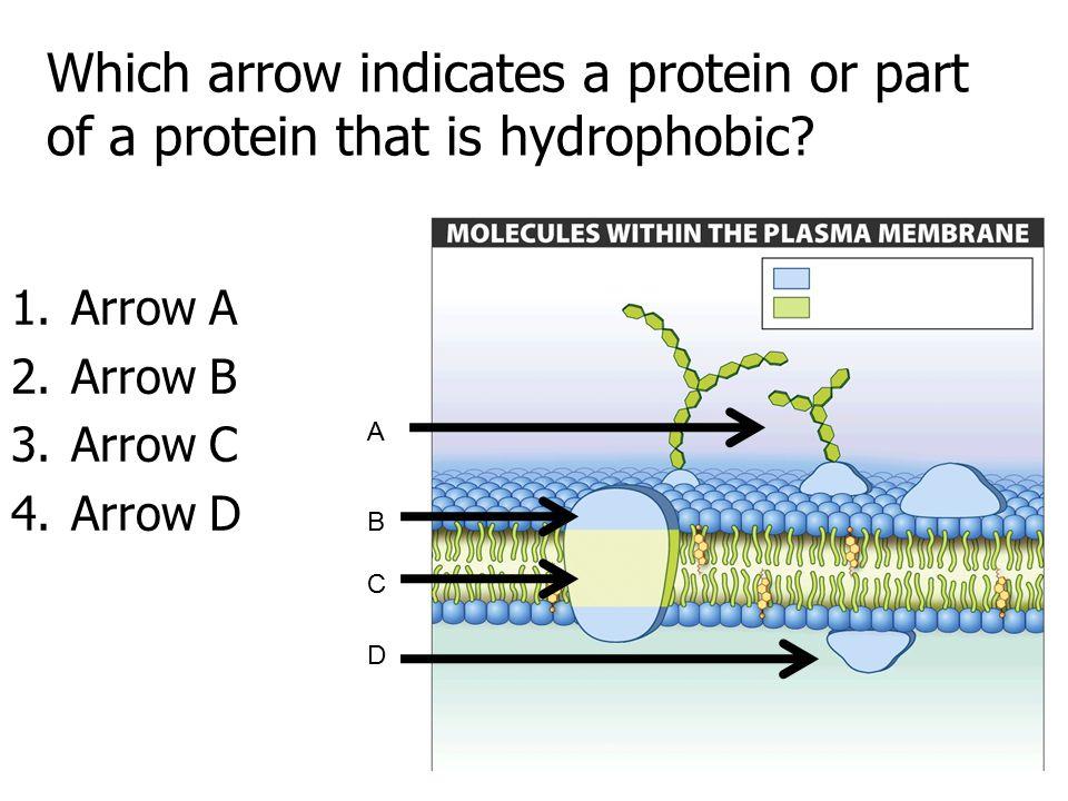 Which arrow indicates a protein or part of a protein that is hydrophobic? 1.Arrow A 2.Arrow B 3.Arrow C 4.Arrow D A B C D