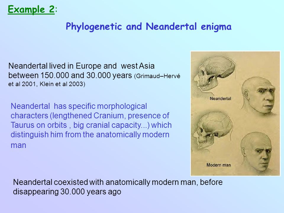 Phylogenetic and Neandertal enigma Example 2: Neandertal lived in Europe and west Asia between 150.000 and 30.000 years (Grimaud–Hervé et al 2001, Klein et al 2003) Neandertal has specific morphological characters (lengthened Cranium, presence of Taurus on orbits, big cranial capacity...) which distinguish him from the anatomically modern man Neandertal coexisted with anatomically modern man, before disappearing 30.000 years ago