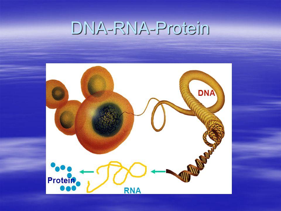RNA DNA Protein DNA-RNA-Protein