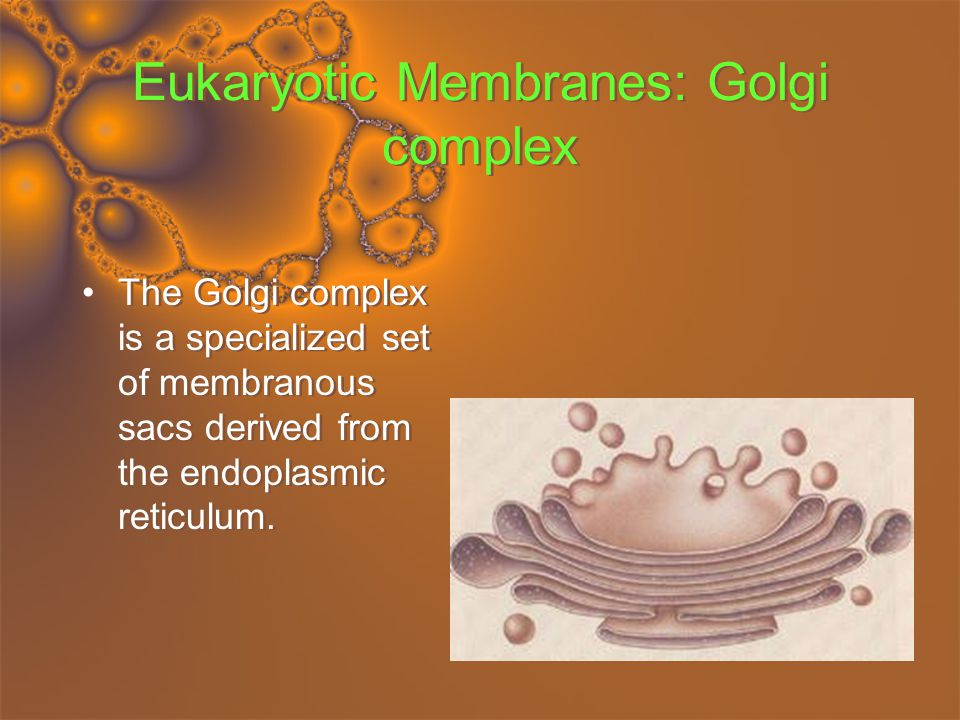 Eukaryotic Membranes: Lysosomes Lysosomes recognize these food vacuoles and fuse with them.