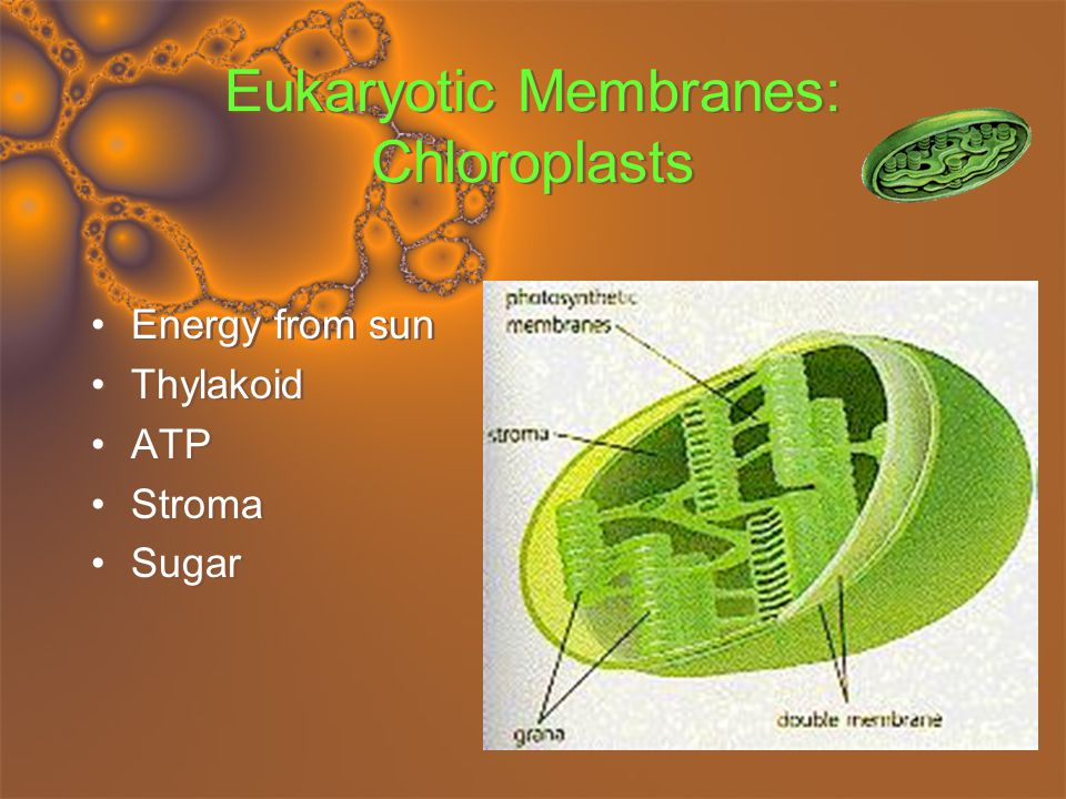 Eukaryotic Membranes: Chloroplasts Energy from sun Thylakoid ATP Stroma Sugar Energy from sun Thylakoid ATP Stroma Sugar