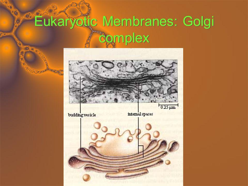Eukaryotic Membranes: Chloroplasts Energy from sun Thylakoid ATP Stroma Sugar Energy from sun Thylakoid ATP Stroma Sugar