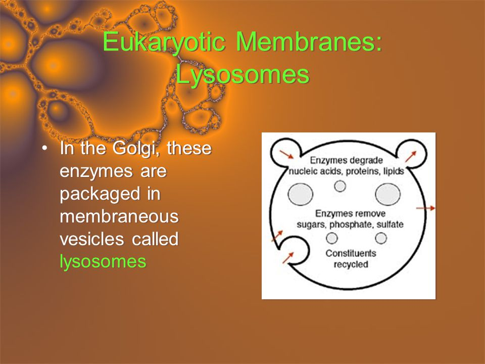 Eukaryotic Membranes: Plastids and Vacuoles There are times when a cell will find itself in a favourable environment, where food can be stored rather than used.