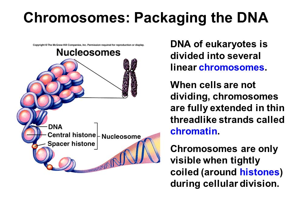 Chromosomes: Packaging the DNA DNA of eukaryotes is divided into several linear chromosomes.
