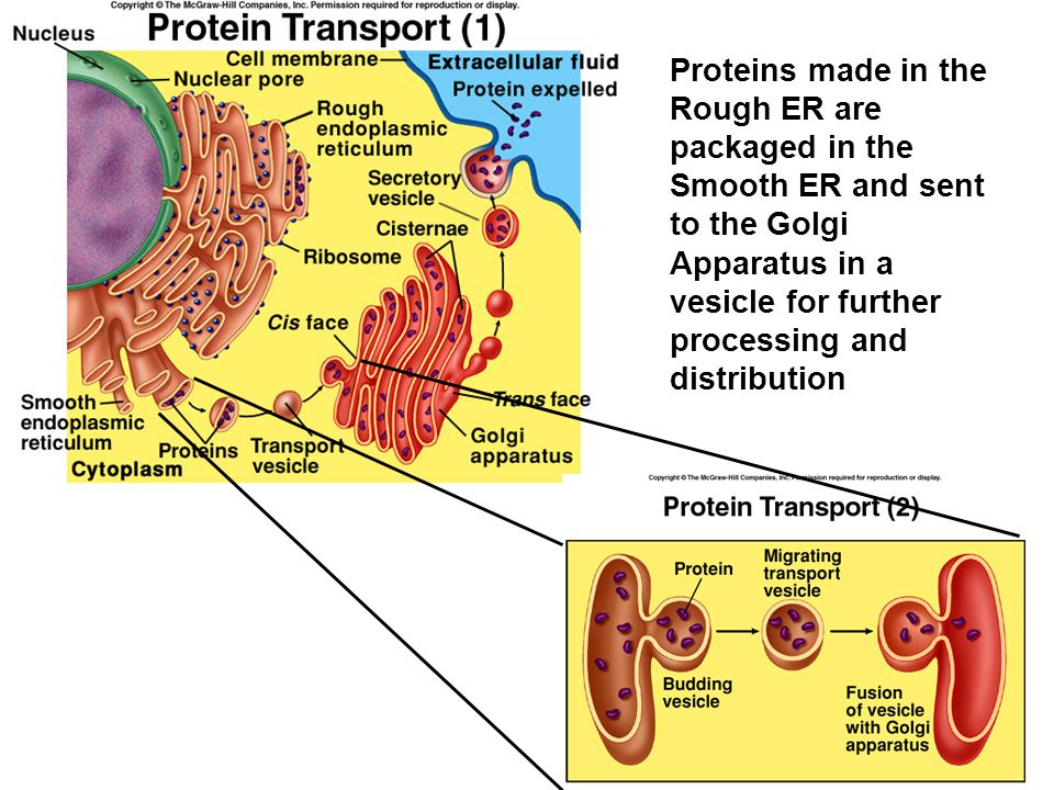 Proteins made in the Rough ER are packaged in the Smooth ER and sent to the Golgi Apparatus in a vesicle for further processing and distribution
