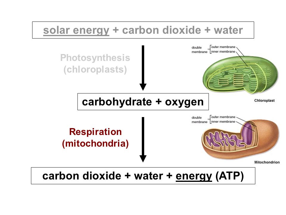 solar energy + carbon dioxide + water carbohydrate + oxygen Photosynthesis (chloroplasts) Respiration (mitochondria) carbon dioxide + water + energy (