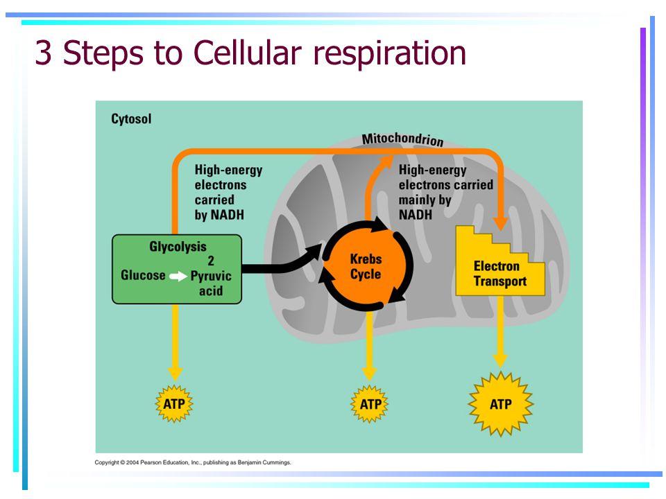 3 Steps to Cellular respiration