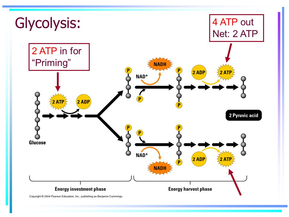 """Glycolysis: 2 ATP in for """"Priming"""" 4 ATP out Net: 2 ATP"""