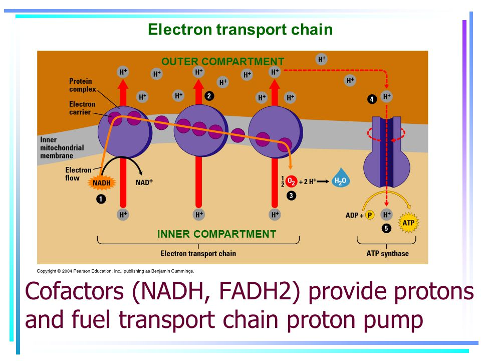 OUTER COMPARTMENT INNER COMPARTMENT Electron transport chain Cofactors (NADH, FADH2) provide protons and fuel transport chain proton pump