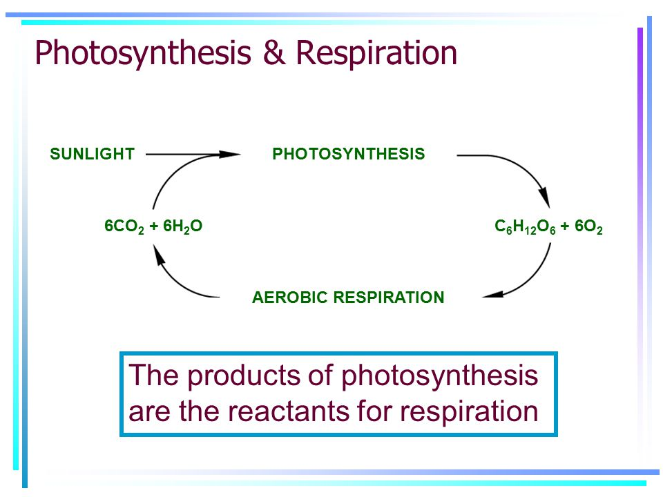 PHOTOSYNTHESIS AEROBIC RESPIRATION C 6 H 12 O 6 + 6O 2 6CO 2 + 6H 2 O SUNLIGHT Photosynthesis & Respiration The products of photosynthesis are the reactants for respiration