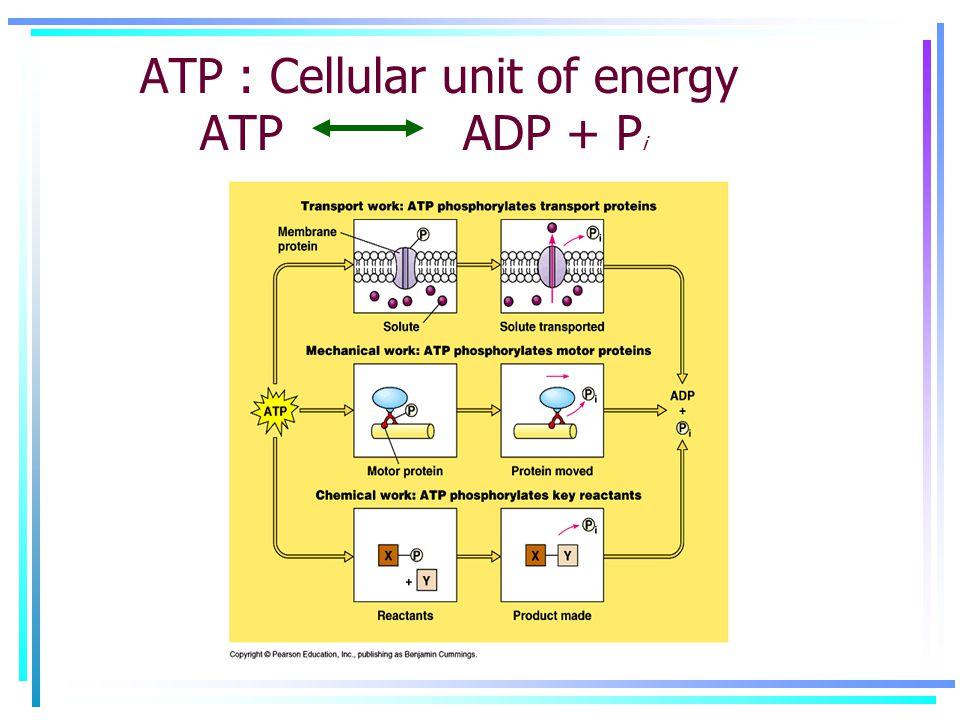 ATP : Cellular unit of energy ATP ADP + P i