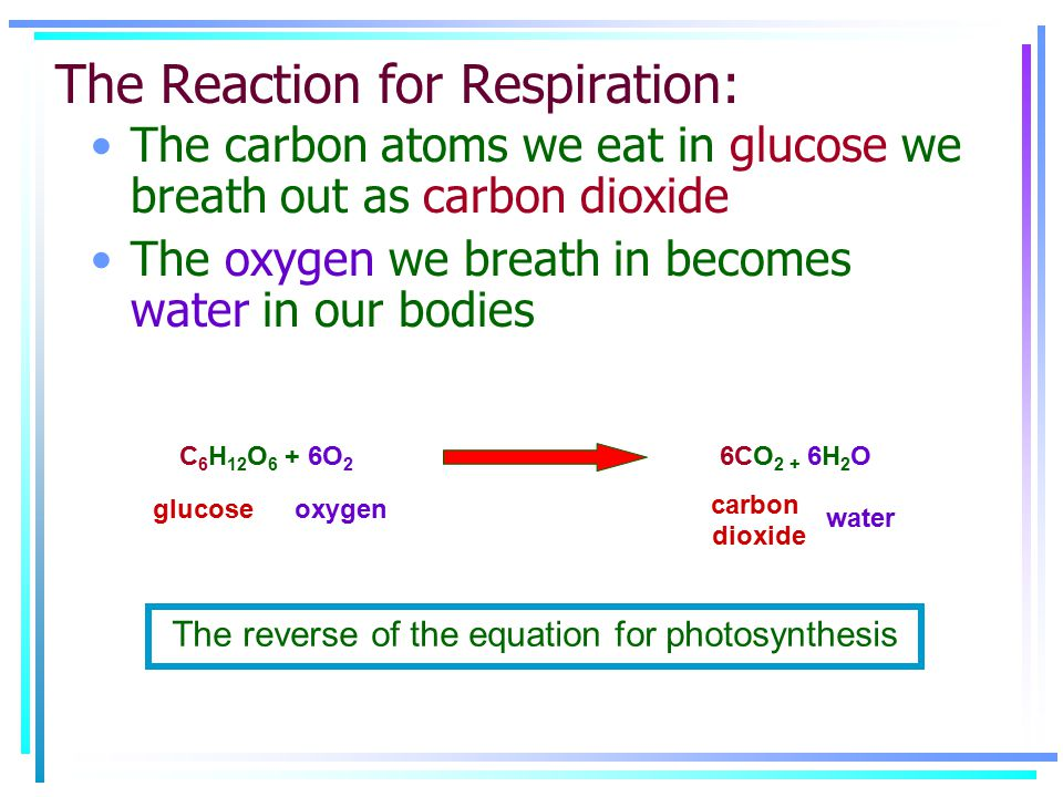 C 6 H 12 O 6 + 6O 2 6CO 2 + 6H 2 O glucoseoxygen carbon dioxide water The Reaction for Respiration: The reverse of the equation for photosynthesis The