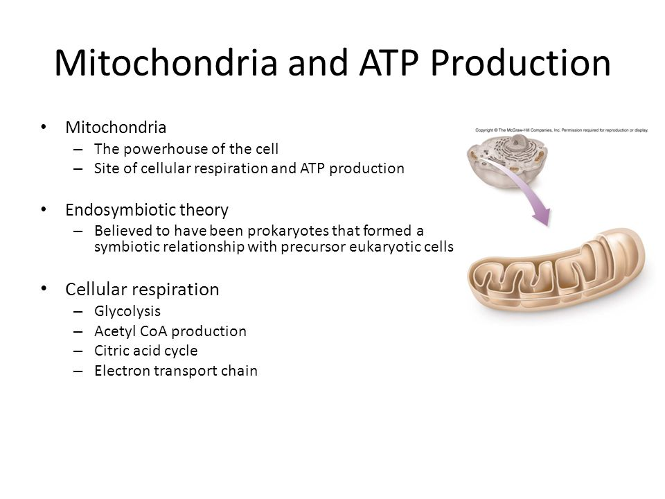Mitochondria and ATP Production Mitochondria – The powerhouse of the cell – Site of cellular respiration and ATP production Endosymbiotic theory – Believed to have been prokaryotes that formed a symbiotic relationship with precursor eukaryotic cells Cellular respiration – Glycolysis – Acetyl CoA production – Citric acid cycle – Electron transport chain