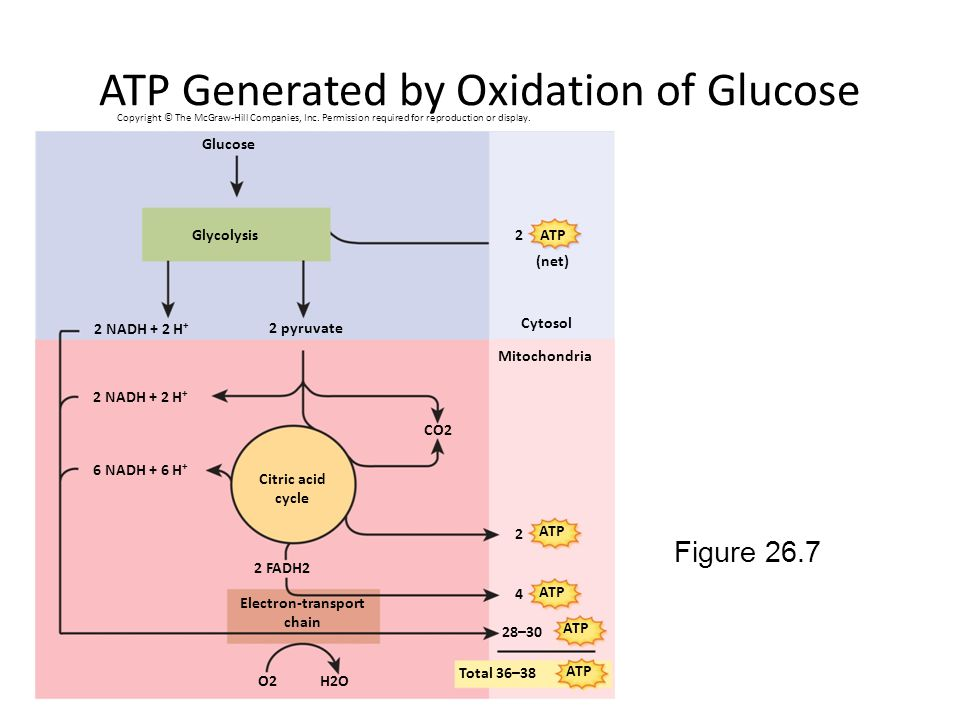 ATP Generated by Oxidation of Glucose Figure 26.7 2 NADH + 2 H + 2 pyruvate Cytosol Mitochondria Glucose 2 NADH + 2 H + 6 NADH + 6 H + Citric acid cycle 2 FADH2 Electron-transport chain H2OO2 Glycolysis Total 36–38 ATP 2 2 4 (net) 28–30 CO2 Copyright © The McGraw-Hill Companies, Inc.
