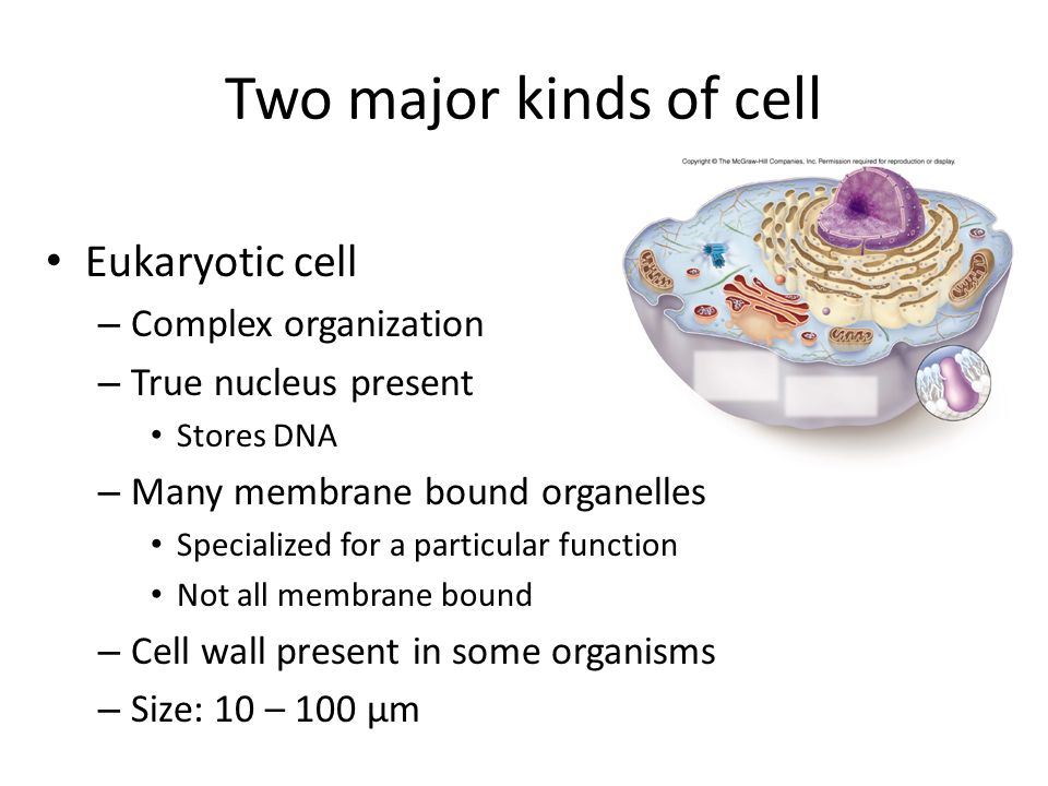 Two major kinds of cell Eukaryotic cell – Complex organization – True nucleus present Stores DNA – Many membrane bound organelles Specialized for a particular function Not all membrane bound – Cell wall present in some organisms – Size: 10 – 100 μm