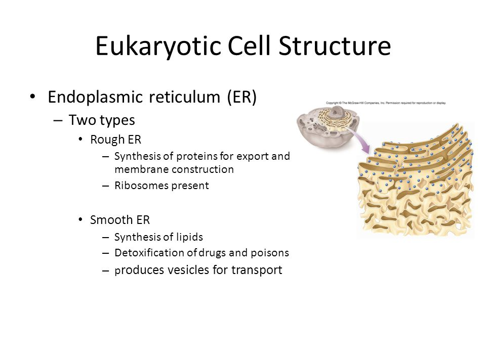 Eukaryotic Cell Structure Endoplasmic reticulum (ER) – Two types Rough ER – Synthesis of proteins for export and membrane construction – Ribosomes present Smooth ER – Synthesis of lipids – Detoxification of drugs and poisons – p roduces vesicles for transport